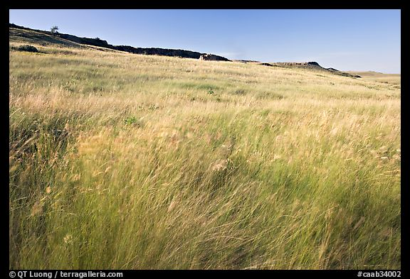 Tall prairie grasses blown by wind and cliff, Head-Smashed-In Buffalo Jump. Alberta, Canada
