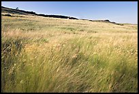 Tall prairie grasses blown by wind and cliff, Head-Smashed-In Buffalo Jump. Alberta, Canada (color)