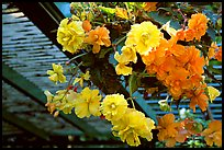 Hanging baskets of begonias. Butchart Gardens, Victoria, British Columbia, Canada (color)