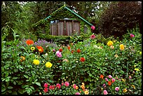 Dalhias and cabin. Butchart Gardens, Victoria, British Columbia, Canada (color)