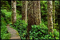 Boardwalk and trees in rain forest. Pacific Rim National Park, Vancouver Island, British Columbia, Canada (color)