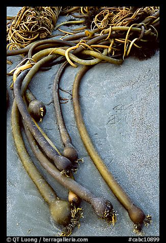 Beached kelp. Pacific Rim National Park, Vancouver Island, British Columbia, Canada (color)