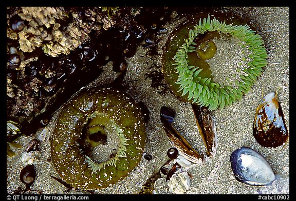 Green anemones and shells exposed at low tide. Pacific Rim National Park, Vancouver Island, British Columbia, Canada (color)