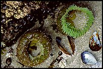 Green anemones and shells exposed at low tide. Pacific Rim National Park, Vancouver Island, British Columbia, Canada