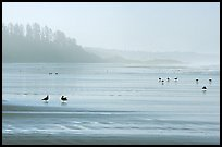 Seabirds, Long Beach, early morning. Pacific Rim National Park, Vancouver Island, British Columbia, Canada