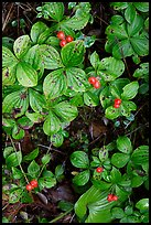Leaves and berries,  Uclulet. Vancouver Island, British Columbia, Canada ( color)
