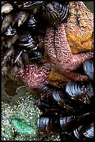 Sea stars and mussels,  South Beach. Pacific Rim National Park, Vancouver Island, British Columbia, Canada ( color)