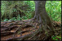 Tree growing on a nurse log. Pacific Rim National Park, Vancouver Island, British Columbia, Canada (color)