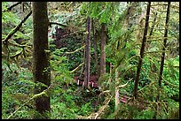 Western Hemlock, red cedars, and firs on the trail to Schooner Point. Pacific Rim National Park, Vancouver Island, British Columbia, Canada