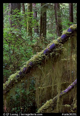 Moss in rain forest. Pacific Rim National Park, Vancouver Island, British Columbia, Canada (color)