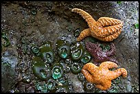 Seastars and green anemones on a rock wall. Pacific Rim National Park, Vancouver Island, British Columbia, Canada (color)