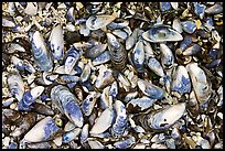 Mussel shells on beach. Pacific Rim National Park, Vancouver Island, British Columbia, Canada