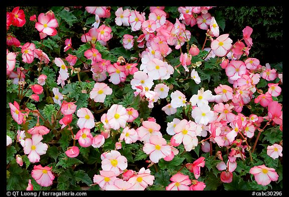 Pink and white begonias. Butchart Gardens, Victoria, British Columbia, Canada (color)
