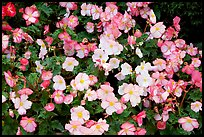 Pink and white begonias. Butchart Gardens, Victoria, British Columbia, Canada ( color)