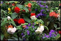 Multicolored begonias. Butchart Gardens, Victoria, British Columbia, Canada (color)