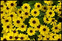 Yellow Daisies. Butchart Gardens, Victoria, British Columbia, Canada ( color)