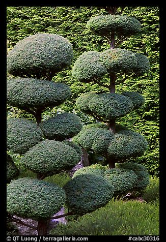 Juniper topiary trees trimed, Japanese Garden. Butchart Gardens, Victoria, British Columbia, Canada (color)