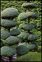 Juniper topiary trees trimed, Japanese Garden. Butchart Gardens, Victoria, British Columbia, Canada