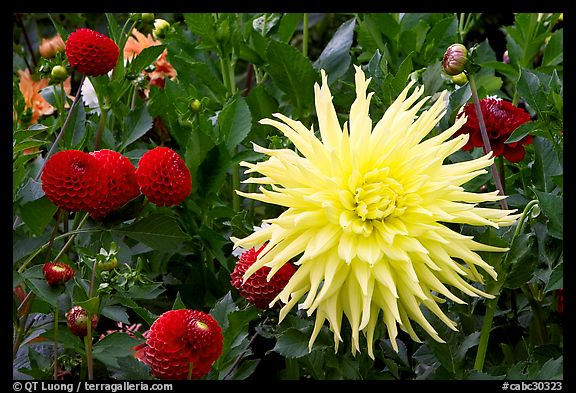 Yellow and red Dahlias. Butchart Gardens, Victoria, British Columbia, Canada (color)
