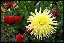 Yellow and red Dahlias. Butchart Gardens, Victoria, British Columbia, Canada