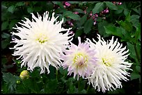 Yellow and pink Dahlias. Butchart Gardens, Victoria, British Columbia, Canada (color)