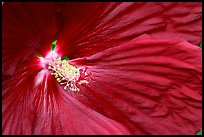 Hibiscus close-up. Butchart Gardens, Victoria, British Columbia, Canada (color)
