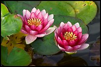 Water lily flower. Butchart Gardens, Victoria, British Columbia, Canada (color)