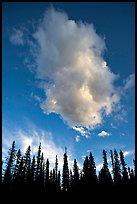 Trees and cloud, sunset. Yoho National Park, Canadian Rockies, British Columbia, Canada ( color)
