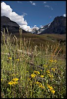 Wildflowers, mountains and Stanley Glacier, afternoon. Kootenay National Park, Canadian Rockies, British Columbia, Canada