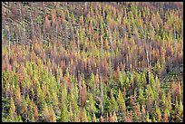 Partly burned forest on hillside. Kootenay National Park, Canadian Rockies, British Columbia, Canada