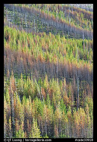 Partly burned trees on hillside. Kootenay National Park, Canadian Rockies, British Columbia, Canada (color)