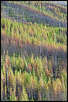 Partly burned trees on hillside. Kootenay National Park, Canadian Rockies, British Columbia, Canada