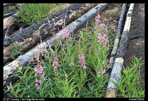 Fireweed and burned tree trunks. Kootenay National Park, Canadian Rockies, British Columbia, Canada (color)