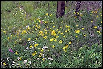 Wildflower carpet on forest floor in Tokkum Creek. Kootenay National Park, Canadian Rockies, British Columbia, Canada