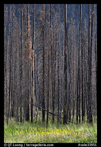 Burned trees and wildflowers. Kootenay National Park, Canadian Rockies, British Columbia, Canada (color)