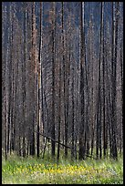 Burned trees and wildflowers. Kootenay National Park, Canadian Rockies, British Columbia, Canada