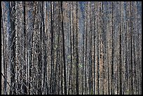 Burned tree trunks. Kootenay National Park, Canadian Rockies, British Columbia, Canada (color)