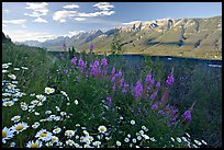 Daisies, fireweed, Mitchell Range and Kootenay Valley, late afternoon. Kootenay National Park, Canadian Rockies, British Columbia, Canada