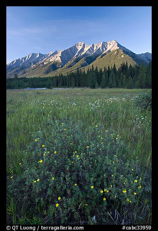 Yellow wildflowers in meadow below Mitchell Range, sunset. Kootenay National Park, Canadian Rockies, British Columbia, Canada (color)