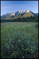 Yellow wildflowers in meadow below Mitchell Range, sunset. Kootenay National Park, Canadian Rockies, British Columbia, Canada