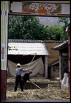 Men extract grains in a farm courtyard. Shaping, Yunnan, China ( color)