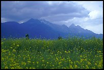 Fields with yellow mustard, below the Jade Dragon mountains. Baisha, Yunnan, China