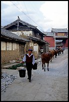 Through village streets with the cows. Baisha, Yunnan, China