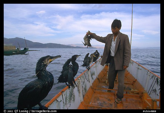 Cormorant fisherman regroups his birds at the end of fishing session. Dali, Yunnan, China (color)