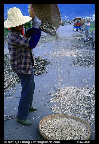 Woman sorts grain from hulls by pouring from a basket. Dali, Yunnan, China