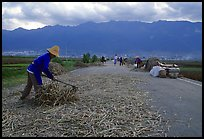 Grain layed out on a country road. Dali, Yunnan, China (color)