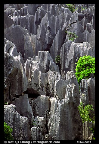 Grey limestone pillars of the Stone Forest. Shilin, Yunnan, China (color)