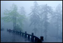 Trees outside Xiangfeng temple in mist. Emei Shan, Sichuan, China (color)