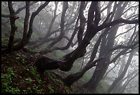Twisted trees on hillside. Emei Shan, Sichuan, China (color)