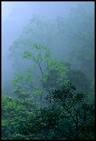 Trees in fog between Qingyin and Hongchunping. Emei Shan, Sichuan, China (color)